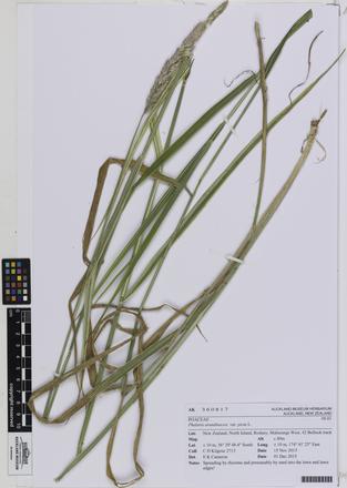 AK360817; Phalaris arundinacea picta; Photographed by: Linda Adams; photographer; digital; 20 Jul 2016; © Auckland Museum CC BY
