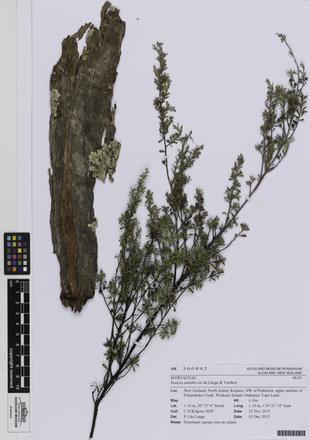 AK360842; Kunzea amathicola; Photographed by: Linda Adams; photographer; digital; 25 Jul 2016; © Auckland Museum CC BY