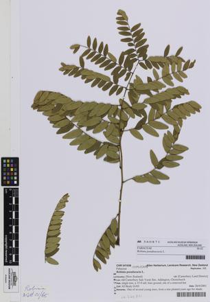 AK360871; Robinia pseudoacacia; Photographed by: Linda Adams; photographer; digital; 25 Jul 2016; © Auckland Museum CC BY