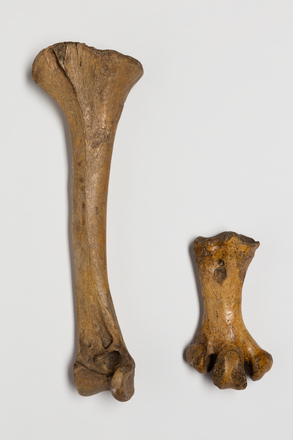 Pachyornis elephantopus; LB5943; © Auckland Museum CC BY