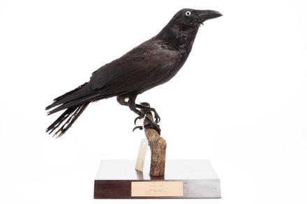 Corvus orru; LB8115; © Auckland Museum CC BY