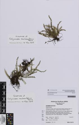 Calymmodon membranifolius