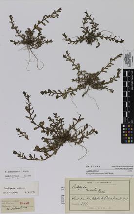Centipeda aotearoana, AK10448, © Auckland Museum CC BY