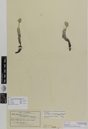Leucogenes leontopodium; AK10190; © Auckland Museum CC BY