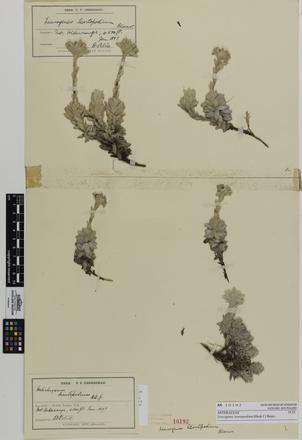 Leucogenes leontopodium; AK10193; © Auckland Museum CC BY