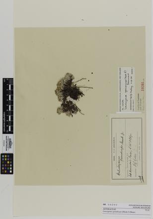 Leucogenes grandiceps; AK10201; © Auckland Museum CC BY
