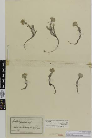 Leucogenes grandiceps; AK10204; © Auckland Museum CC BY