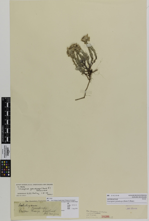 Leucogenes grandiceps; AK10206; © Auckland Museum CC BY