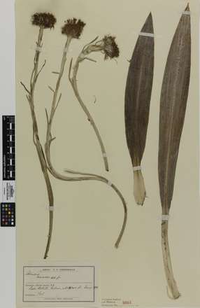 Celmisia semicordata semicordata; AK9861; © Auckland Museum CC BY