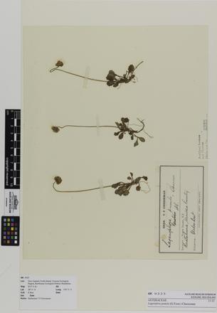 Lagenifera pumila; AK9325; © Auckland Museum CC BY