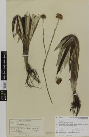 Celmisia morganii; AK9933; © Auckland Museum CC BY