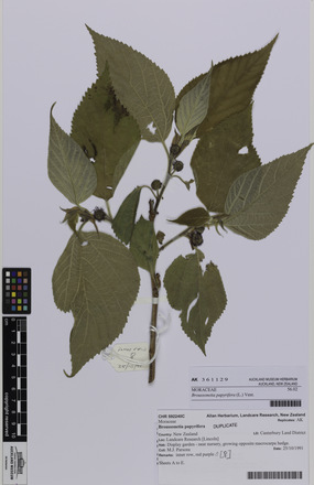 AK361129, Broussonetia papyrifera, Photographed by: Eugene Wong Doe, photographer, digital, 14 Sep 2016, © Auckland Museum CC BY