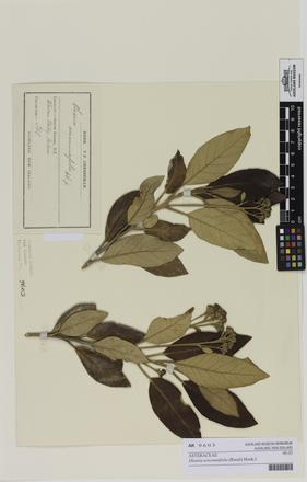 Olearia avicenniifolia, AK9603, © Auckland Museum CC BY