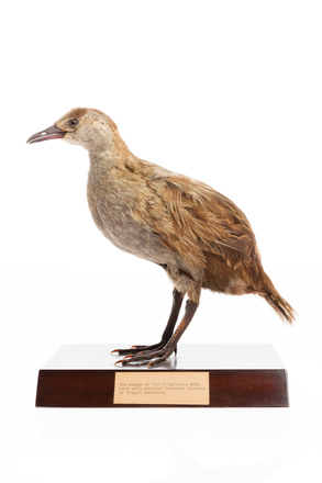 LB13820, Gallirallus australis greyi, Photographed by: Kelly Gilchrist, photographer, digital, 20 Sep 2016, © Auckland Museum CC BY