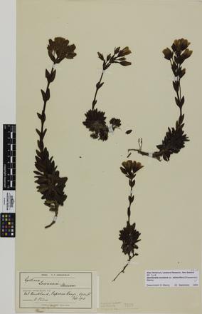 Gentianella montana montana stolonifera; AK7215; © Auckland Museum CC BY