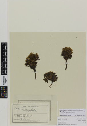 Gentianella divisa, AK7292, © Auckland Museum CC BY