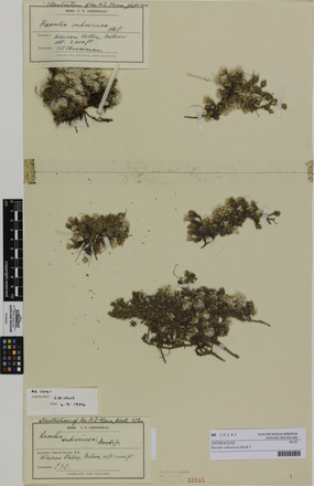 Raoulia subsericea; AK10141; © Auckland Museum CC BY