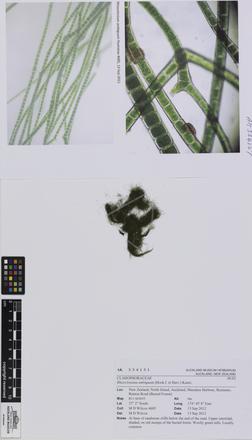Pseudorhizoclonium australe
