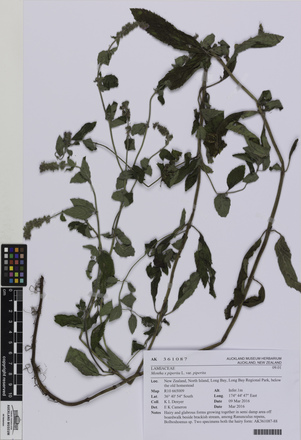 AK361087, Mentha x piperita piperita, Photographed by: Eugene Wong Doe, photographer, digital, 27 Oct 2016, © Auckland Museum CC BY
