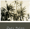 """""""Date Palms"""", Photo Album in Egypt of 638 Charles Honori Parks. Image kindly provided by Parks family. Image has no known copyright restrictions."""