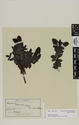 Hebe albicans, AK8110, © Auckland Museum CC BY