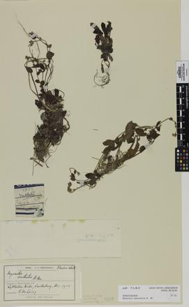 Myosotis australis, AK7483, © Auckland Museum CC BY