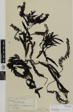 Hebe macrocarpa macrocarpa; AK7721; © Auckland Museum CC BY