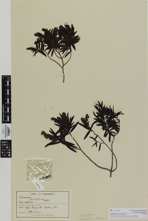 Hebe parviflora; AK7854; © Auckland Museum CC BY