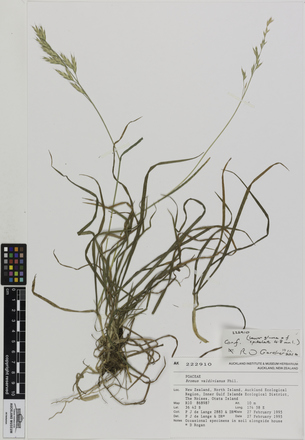 AK222910, Bromus valdivianus, Photographed by: Ella Rawcliffe, photographer, digital, 10 Nov 2016, © Auckland Museum CC BY
