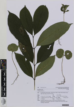 AK360054, Coffea arabica, Photographed by: Ella Rawcliffe, photographer, digital, 24 Nov 2016, © Auckland Museum CC BY