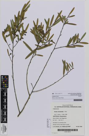 AK361877, Hovea lanceolata, Photographed by: Ella Rawcliffe, photographer, digital, 24 Nov 2016, © Auckland Museum CC BY