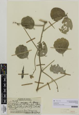 Canavalia sericea, AK70152, © Auckland Museum CC BY