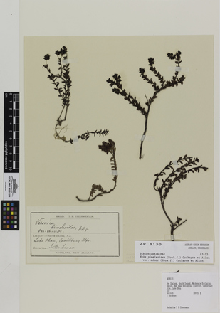 Hebe pimeleoides minor; AK8155; © Auckland Museum CC BY