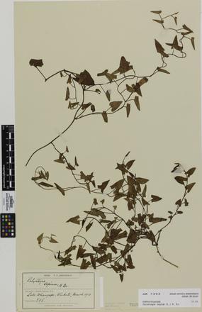 Calystegia sepium; AK7395; © Auckland Museum CC BY