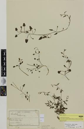 Convolvulus waitaha; AK7417; © Auckland Museum CC BY