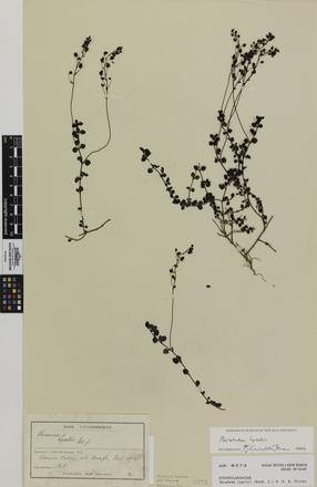 Parahebe lyallii, AK8373, © Auckland Museum CC BY