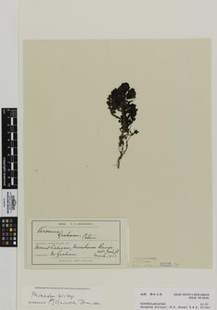Parahebe birleyii, AK8416, © Auckland Museum CC BY