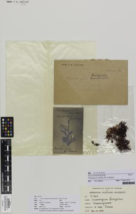 Nothogenia neilliae, AK334394, © Auckland Museum CC BY