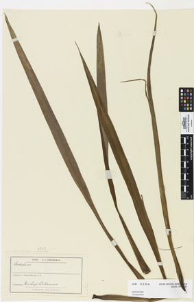 Cordyline, AK3162, © Auckland Museum CC BY