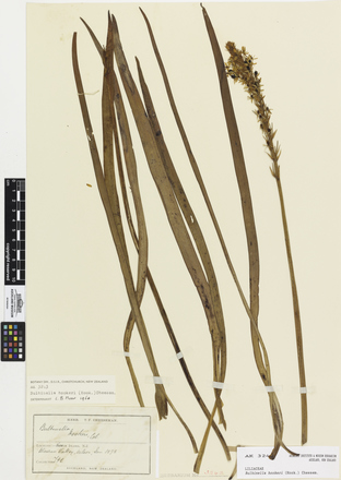 Bulbinella hookeri; AK3243; © Auckland Museum CC BY