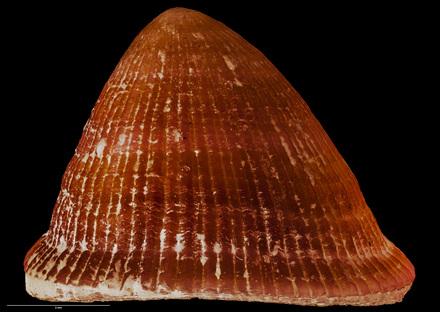 Actinoleuca campbelli bountyensis, MA71208, © Auckland Museum CC BY