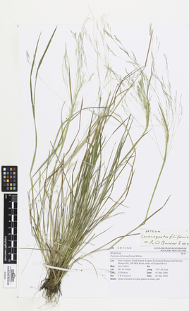 Lachnagrostis filiformis, AK285266, © Auckland Museum CC BY