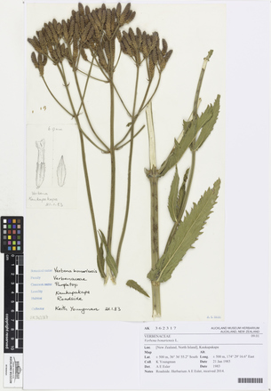AK362317, Verbena bonariensis, Photographed by: Ella Rawcliffe, photographer, digital, 23 Feb 2017, © Auckland Museum CC BY