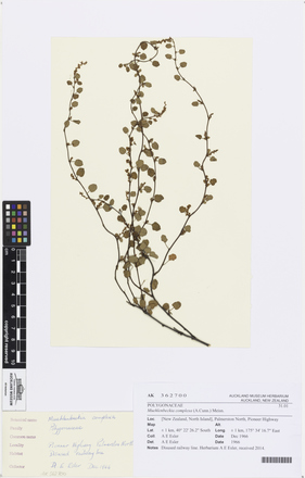 Muehlenbeckia complexa, AK362700, © Auckland Museum CC BY