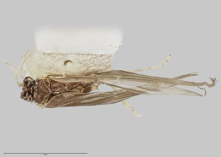 Oxyethira ahipara