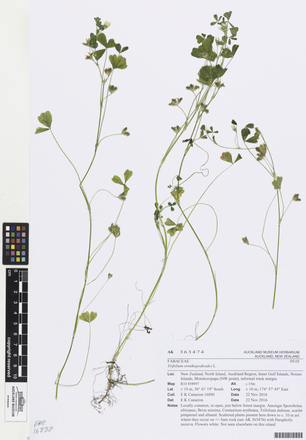 AK363474, Trifolium ornithopodioides, Photographed by: Linda Adams, photographer, digital, 08 Mar 2017, © Auckland Museum CC BY
