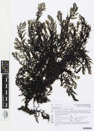 AK363520, Carpophyllum plumosum, Photographed by: Linda Adams, photographer, digital, 08 Mar 2017, © Auckland Museum CC BY