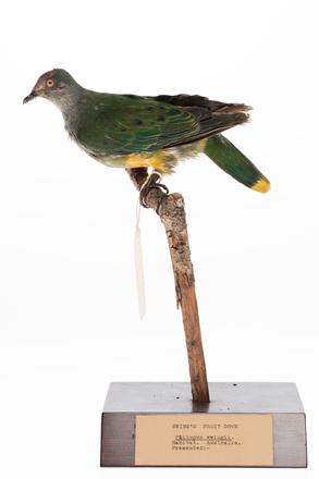 Ptilinopus regina, LB7989, © Auckland Museum CC BY