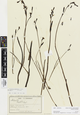 Thelymitra longifolia, AK3354, © Auckland Museum CC BY