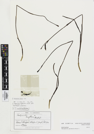 Thelymitra pulchella, AK228714, © Auckland Museum CC BY
